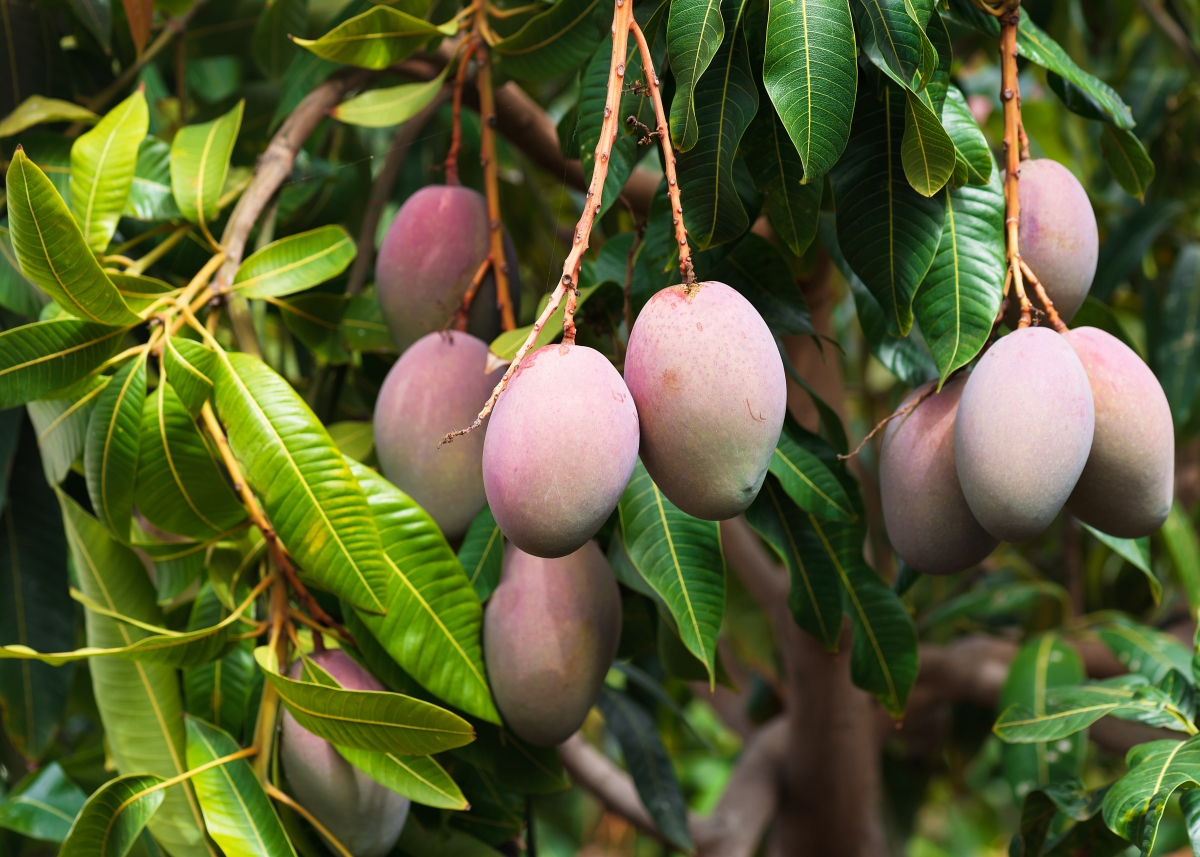 Mangos on Tree